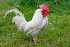 公鸡纵向 免版税库存图片