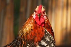公鸡纵向 库存图片