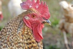 公鸡纵向s 图库摄影