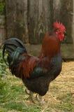 公鸡自由放养在农场 免版税库存图片