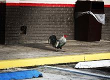 公鸡街道 库存照片