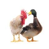 公鸡鸭子 免版税图库摄影