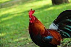 公鸡画象在绿色庭院里 图库摄影