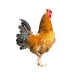 公鸡年轻人 免版税库存照片