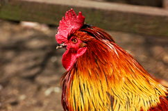 公鸡 免版税图库摄影