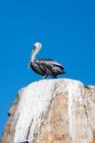公鹈鹕在La Anegada岩石栖息在Los卡约埃尔考斯/土地在Cabo圣卢卡斯墨西哥结束 免版税库存照片