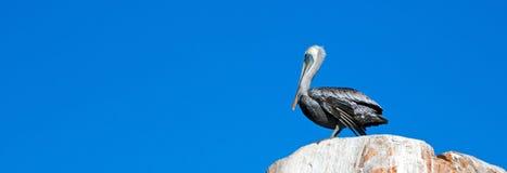 公鹈鹕在La Anegada岩石栖息在Los卡约埃尔考斯/土地在Cabo圣卢卡斯巴哈墨西哥结束 库存图片