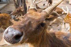 公鹿站立,在农场的美丽的鹿角 图库摄影