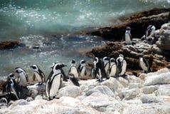 公驴企鹅自然保护 海湾贝蒂s 西开普省,南非 免版税库存照片