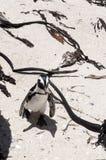 公驴企鹅 图库摄影