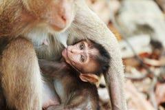 哺乳一只小的猴子 免版税库存图片
