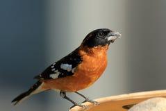 公黑带头的蜡嘴鸟 图库摄影