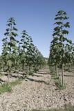 公主树& x28;泡桐属tomentosa & x29;Blauglockenbaum在秋天 免版税库存图片