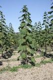 公主树& x28;泡桐属tomentosa & x29;Blauglockenbaum在秋天 库存图片