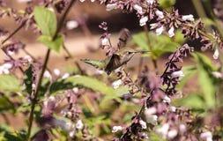 公Annas蜂鸟, Calypte安娜 免版税库存图片