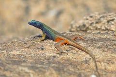 公Augrabies平的蜥蜴 库存图片