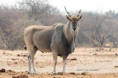 公eland羚羊 免版税库存图片