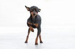 公Pincher玩具狗 图库摄影