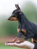 公Pincher玩具狗 库存照片