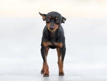 公Pincher玩具狗 库存图片
