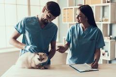 公Veterinarian Examining Cute Grey医生猫 免版税库存照片