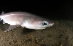 六个鳃鲨鱼 免版税库存图片