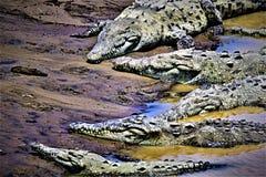 六去鳄鱼伪装俱乐部,在哥斯达黎加 图库摄影