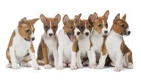 六只小狗逗人喜爱的Basenji 免版税库存图片