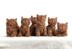 六只棕色英国小猫 库存图片