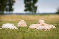 六只金毛猎犬小狗 免版税库存图片
