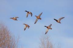 六只飞行的鸭子 免版税库存图片