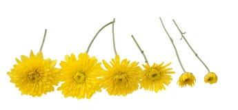 六朵黄色雏菊 免版税库存照片