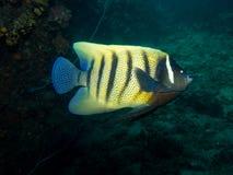 六条被结合的神仙鱼- Pomacanthus sexstriatus 免版税图库摄影
