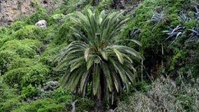 巴兰卡在有植被的特内里费岛 股票录像