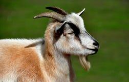 兰卡斯特, PA :在门诺派中的严紧派的农厂博物馆的山羊 库存照片