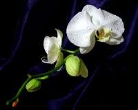 兰花东方样式白色 免版税库存图片