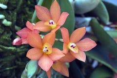 兰花为Sophronitis以前分类的Cattleya cernua 免版税库存图片