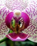 兰花兰花植物粉红色白色 免版税库存图片