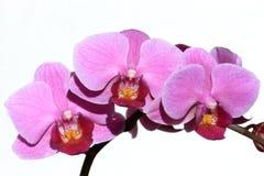 兰花兰花植物紫罗兰 免版税库存照片
