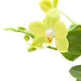 兰花兰花植物黄色 免版税库存图片