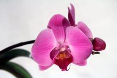 兰花兰花植物,桃红色花 图库摄影