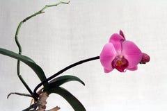 兰花兰花植物,桃红色花 免版税库存图片