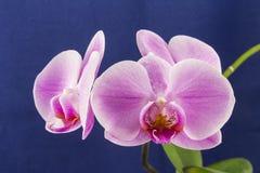 兰花兰花植物,桃红色花 库存图片