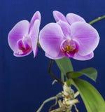 兰花兰花植物,桃红色花 免版税库存照片