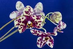 兰花兰花植物,被察觉的花 库存图片