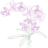 兰花兰花植物 免版税图库摄影