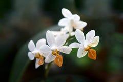 兰花兰花植物 免版税库存照片