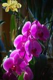 兰花兰花,紫色桃红色 图库摄影