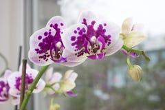 兰花分支在窗口的 一朵充满活力的热带桃红色兰花花,花卉背景 泰国的美丽的家庭花束或 库存图片
