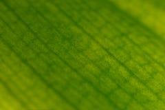 兰花叶子宏观纹理  r 抽象自然纹理和背景有机样式宏观看法  免版税库存图片